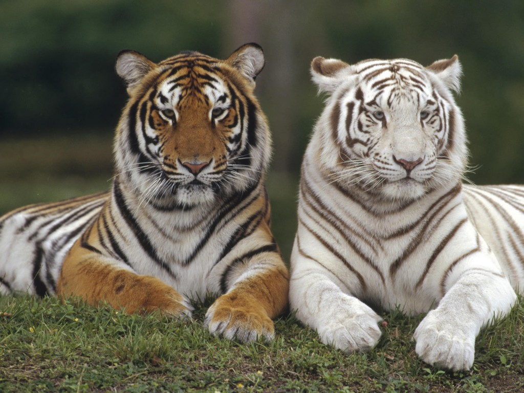 White Bengal Tiger Wallpaper 11275 Hd Wallpapers in Animals   Imagesci 1024x768
