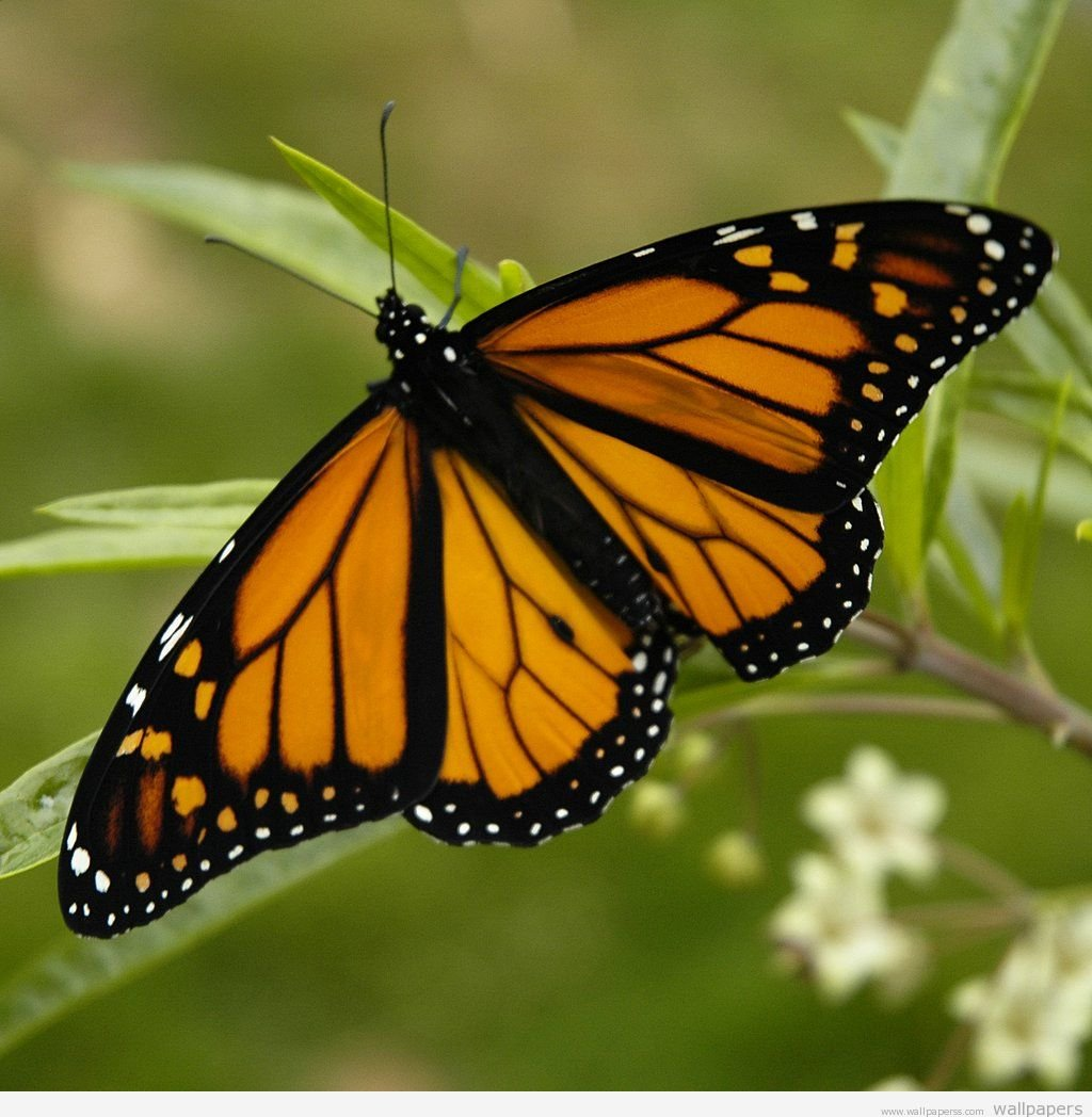 Butterfly Wallpaper Backgrounds Butterfly Pictures Screensaver 1024x1048