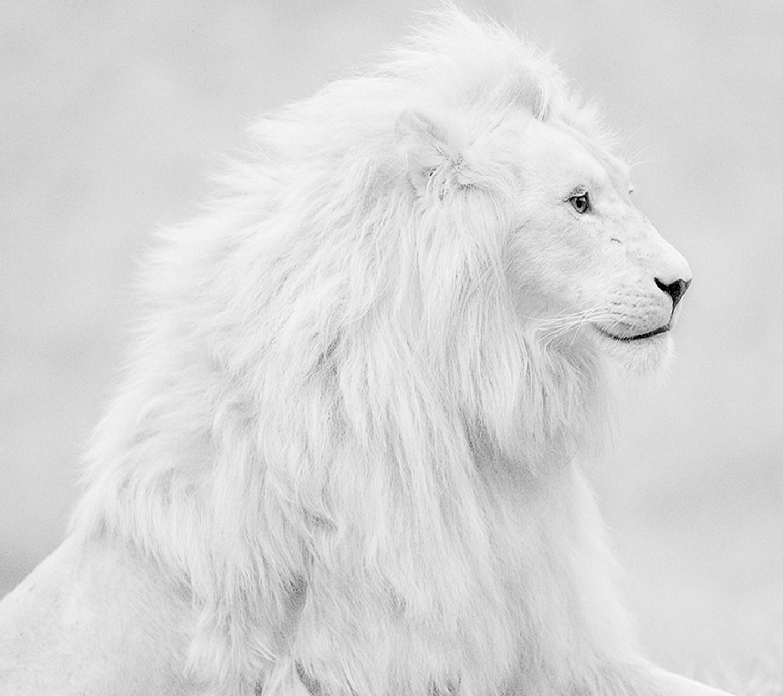 74 White Lion Background On Wallpapersafari