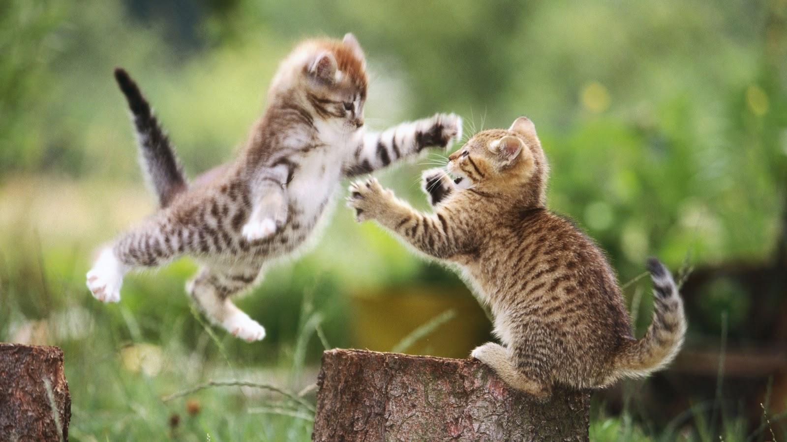 Wallpaper met twee jonge springende gevlekte katjes 1600x900