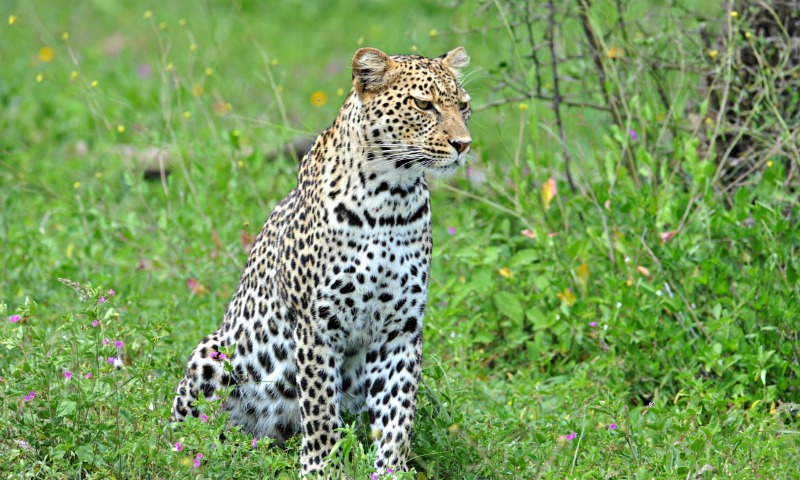 leopard wallpaper hd 800x480 800x480