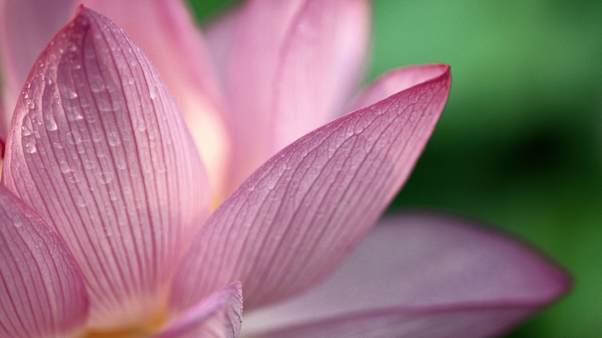Flower Pink 1080p HD Wallpapers HD Wallpapers 1920x1080