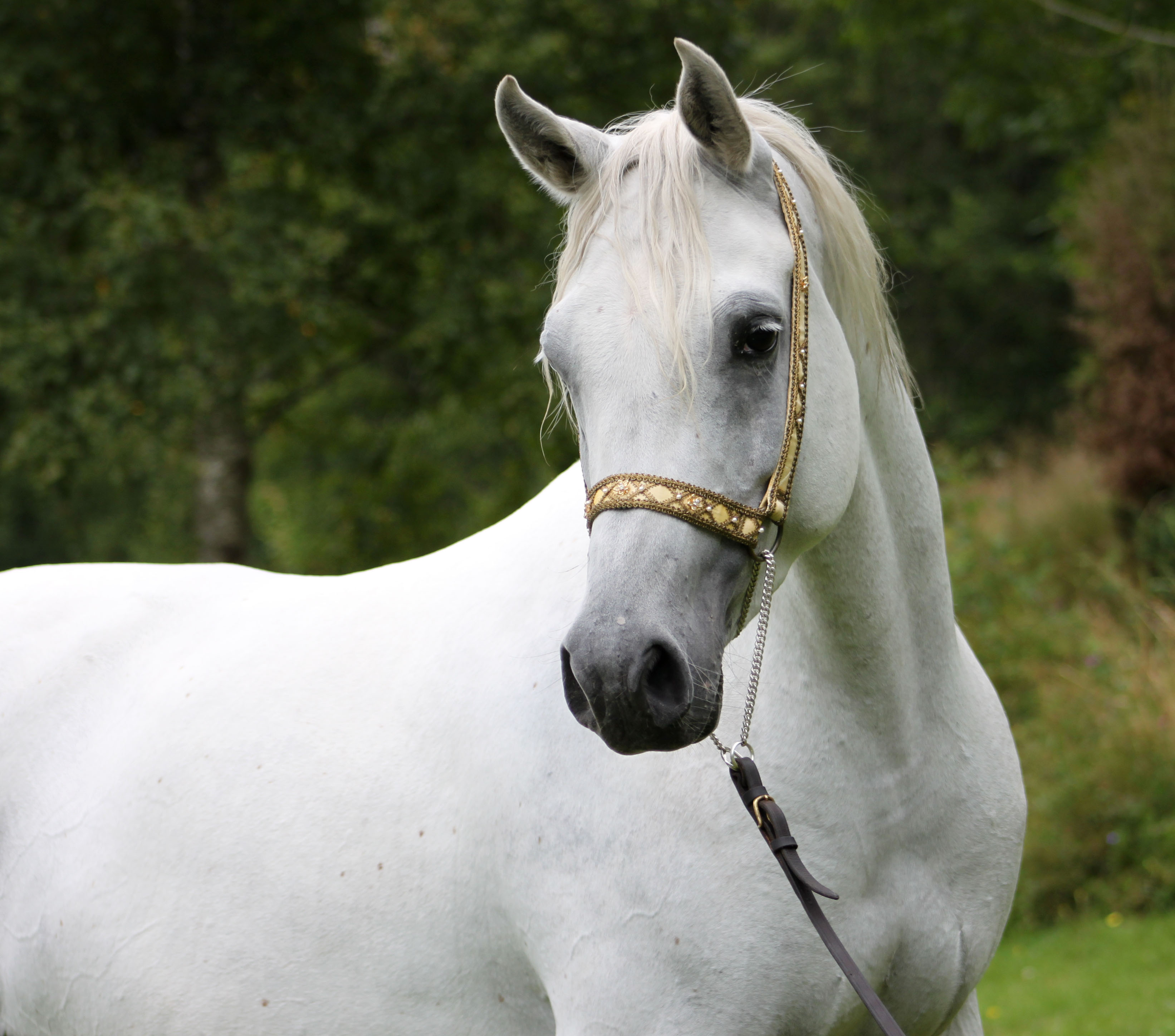 Pretty Arabian Horse wallpaper ForWallpapercom 3285x2896