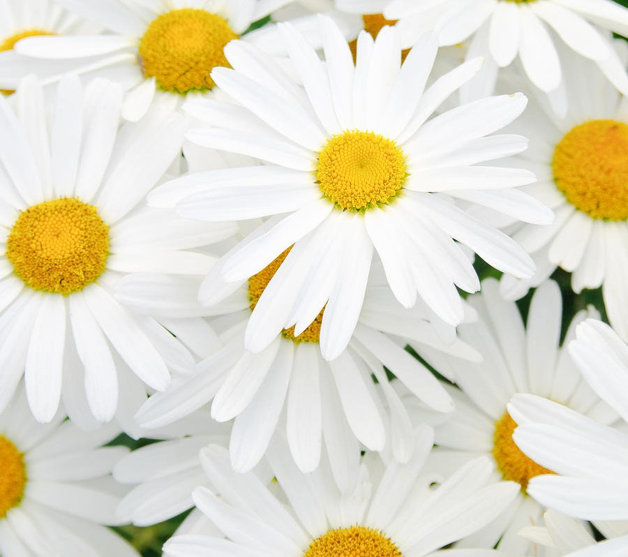 Daisies Tumblr Background 900x798
