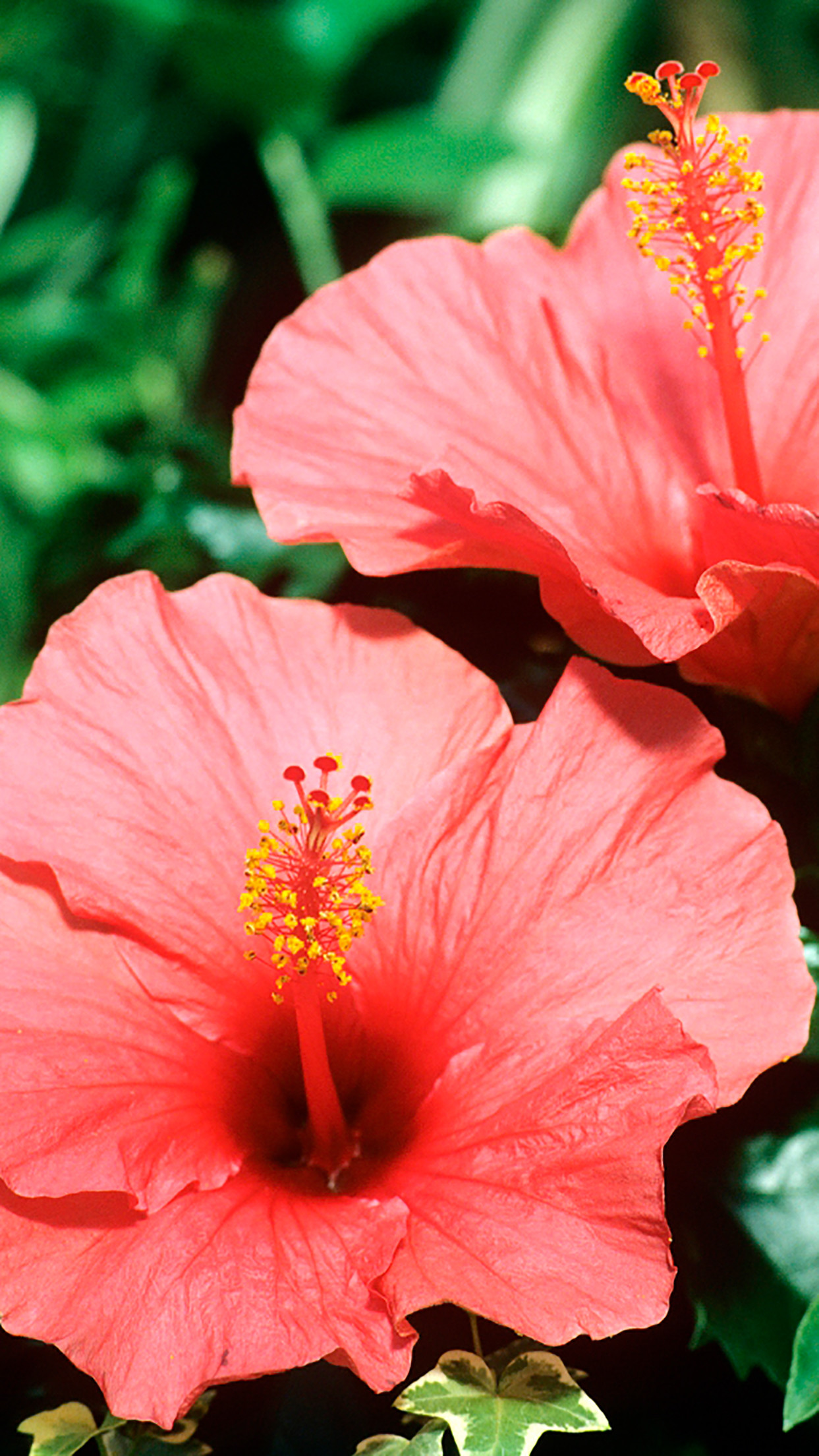 57 Hibiscus Wallpapers on WallpaperPlay 1243x2208