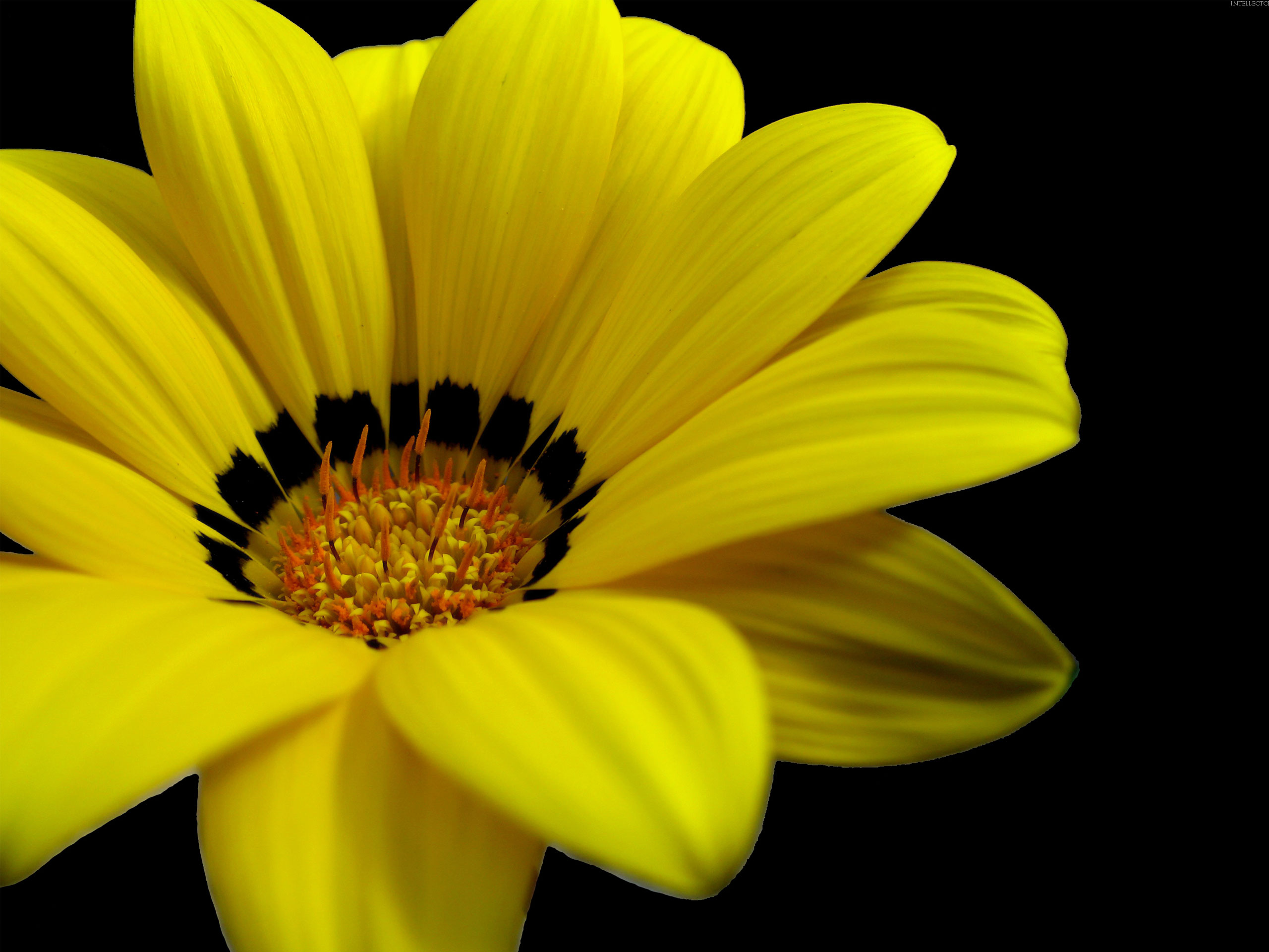 Great Yellow Flower Wallpapers Hd