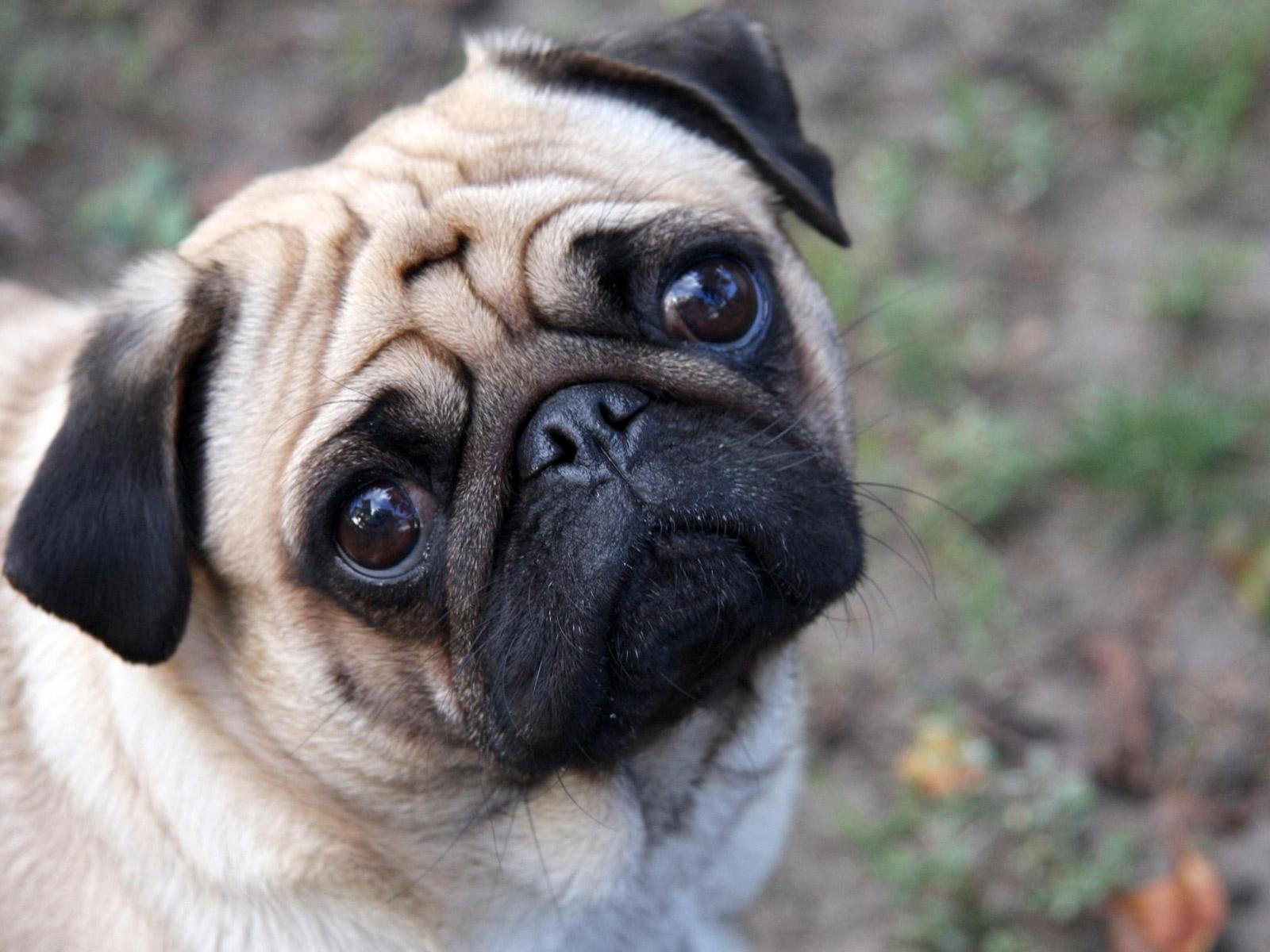 Cute Pug wallpapers Cute Pug stock photos 1600x1200