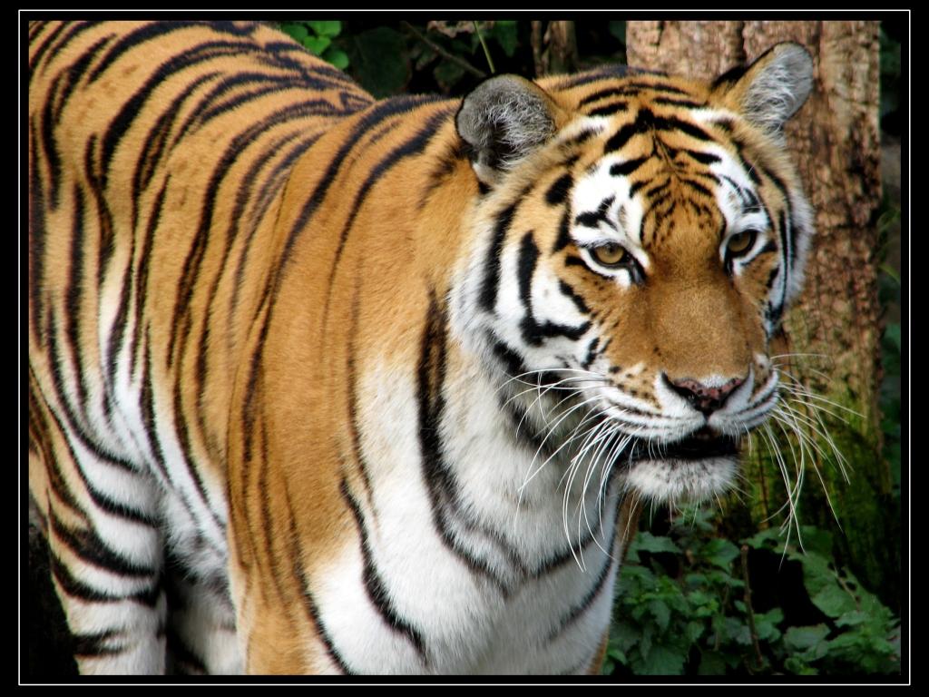 Tiger Wallpaper Desktop Tiger Wallpapers HD 1024x768
