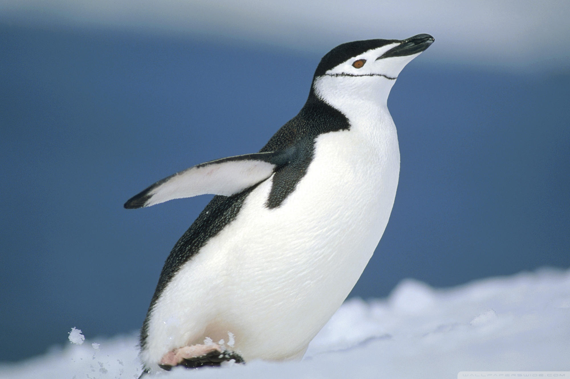 Cute little penguin photography wallpaper Animal desktop background 2000x1333
