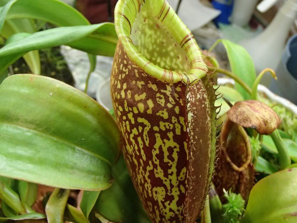 Nepenthes spectabilis photos 1024x768