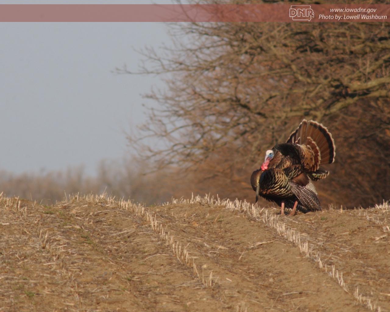 Deer Turkey Forest Upland Wildlife Grasslands Waterfowl 1280x1024