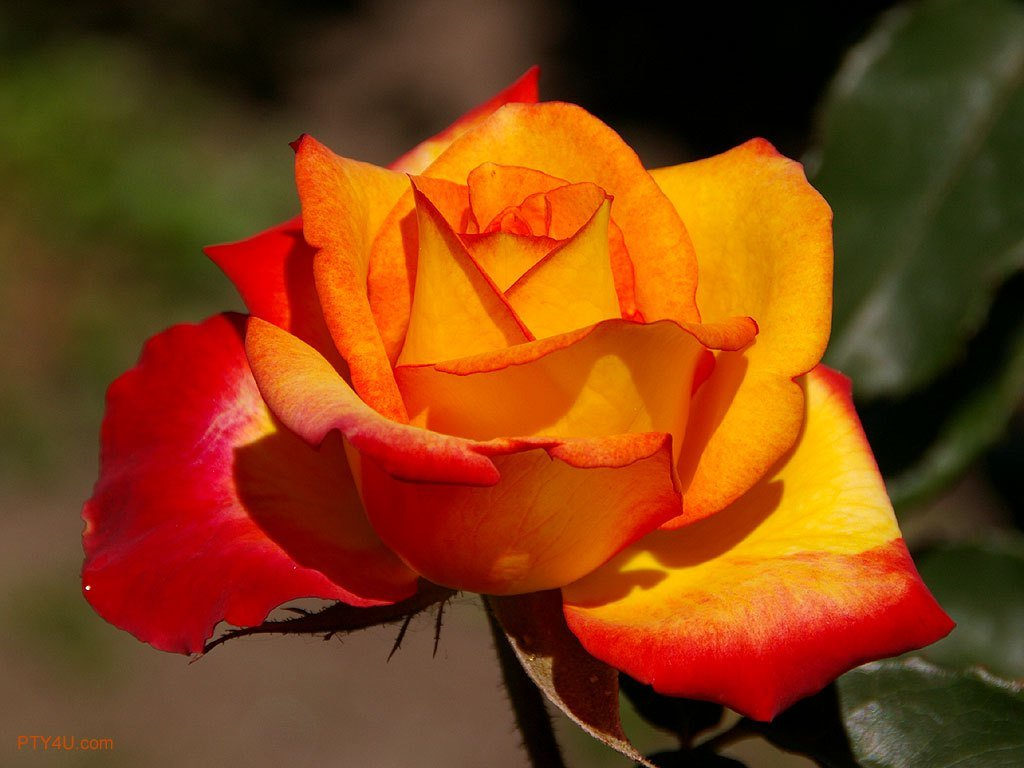 wallpaper named yellow red rose it has   Wallpoop   The Wallpaper 1024x768