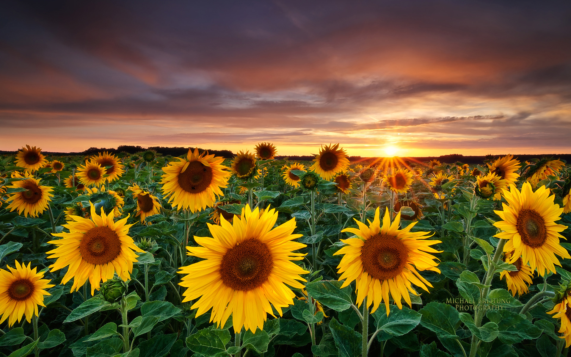 Sunflowers Franconia WallpaperBackground in 1920x1200 HD Wide 1920x1200