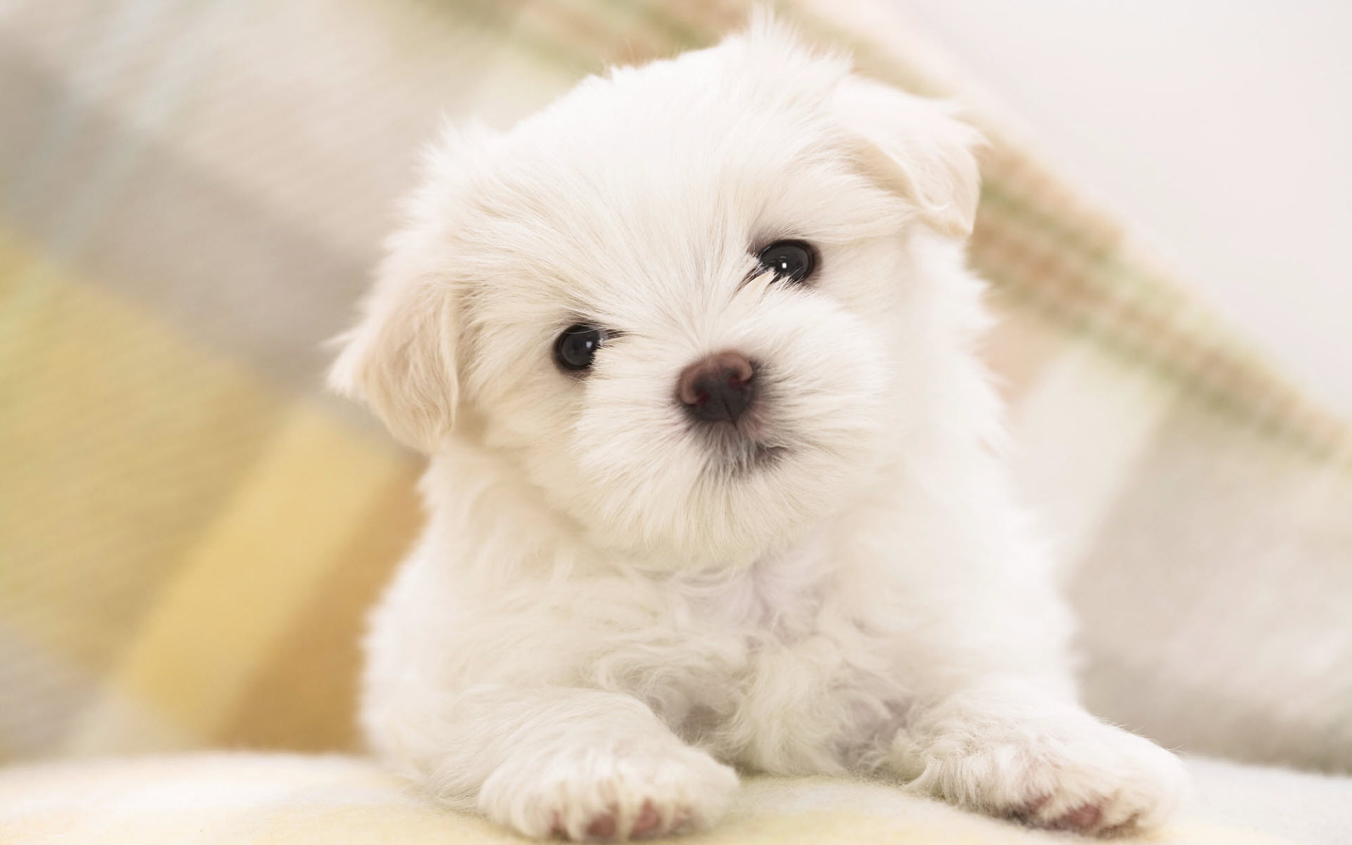 Very Cute White Puppy PC Wallpapers 1920x1200