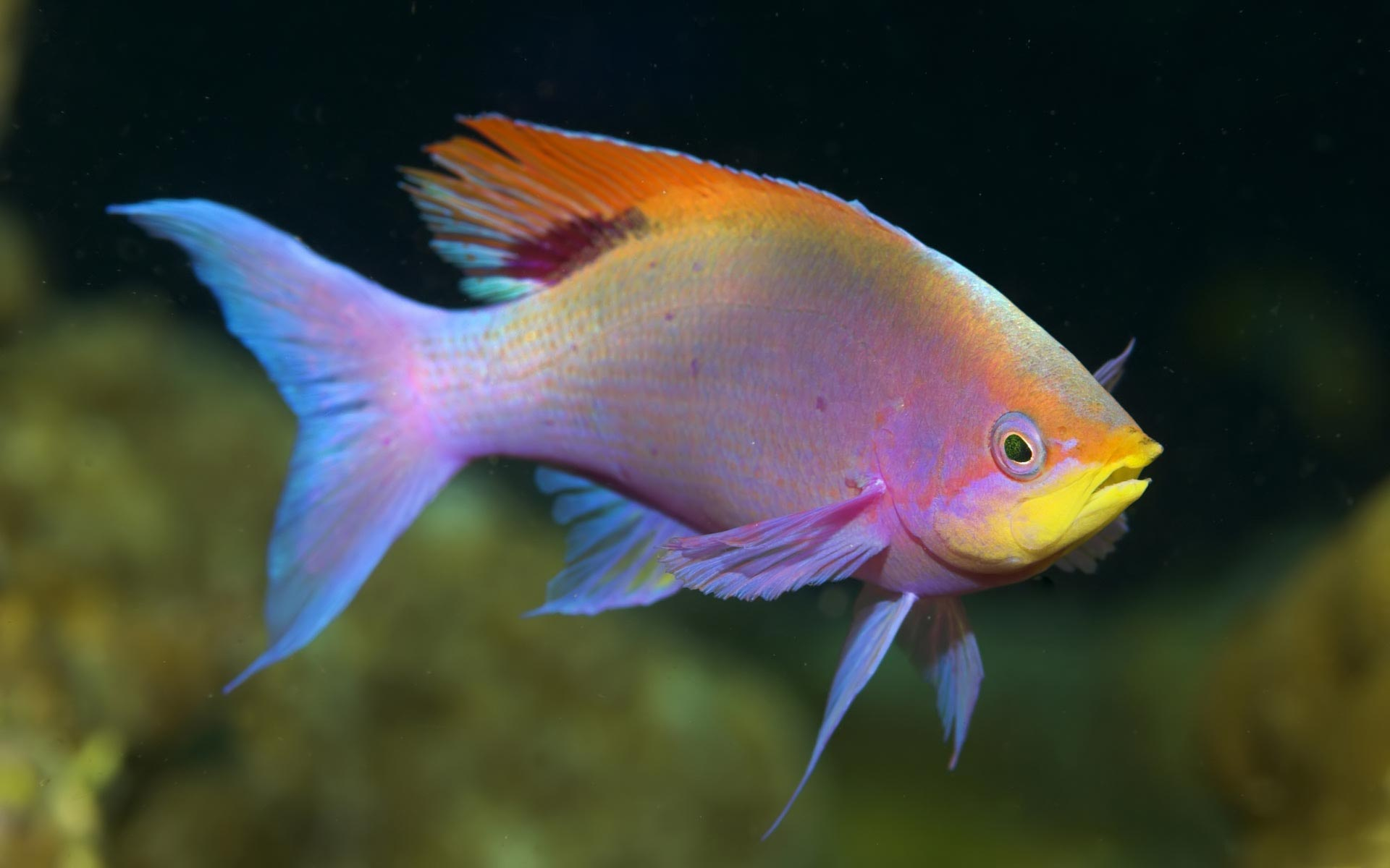 Freshwater aquarium fish uk - Freshwater Fish Pictures 13292 Hd Wallpapers In Animals Imagesci Com