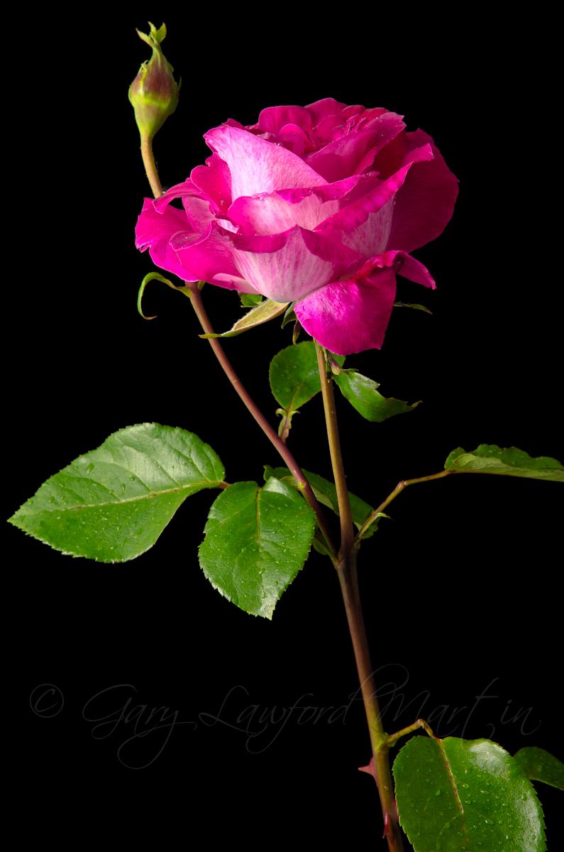 Red Rose Black Background Gary Lawford Martin 795x1200