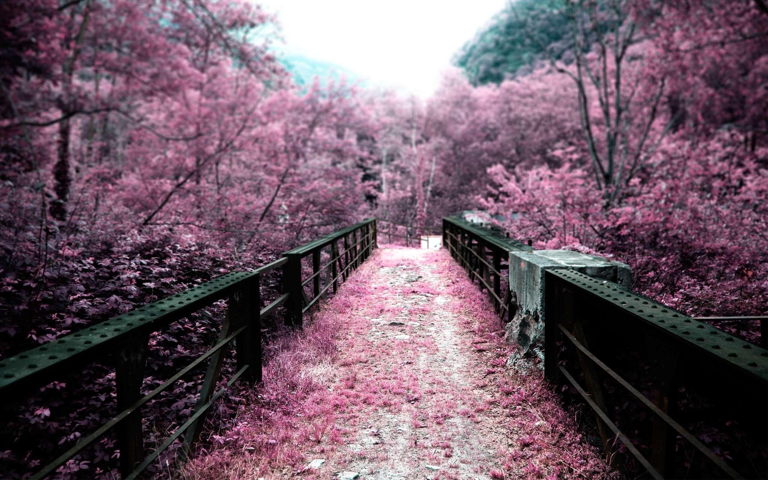 Cherry Blossom Tree Wallpaper Cherry blossoms on a bridge hd 2560x1600