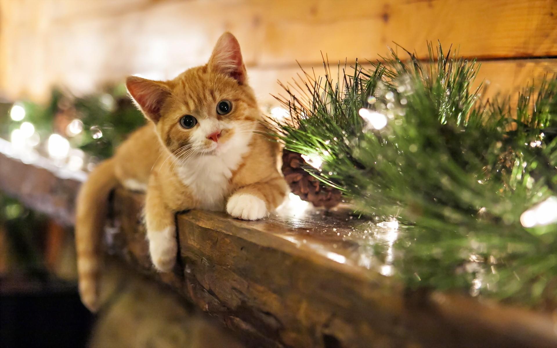 Christmas Kitten wallpapers Christmas Kitten stock photos 1920x1200