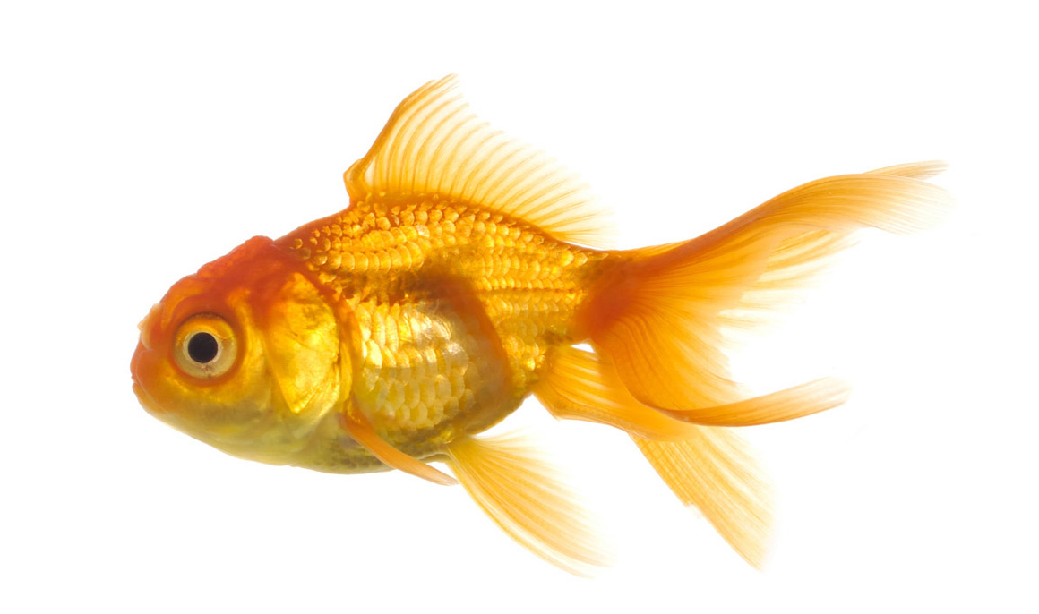 Pictures Goldfish Beautiful New Hd Wallpapers And Pictures 2013 1160x686