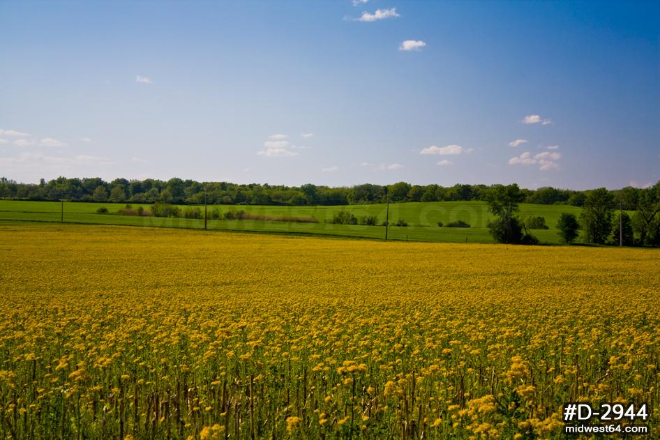 Yellow Illinois prairie wildflowers with blue sky Sky and 946x631