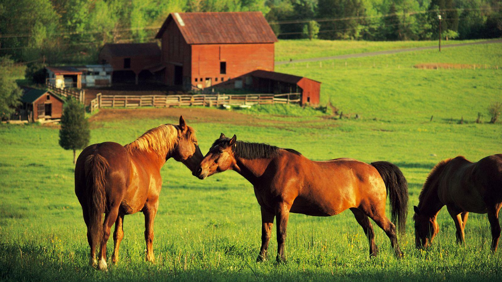 Horse hd wallpaper 1600x900 wallpapersafari for Horse farm