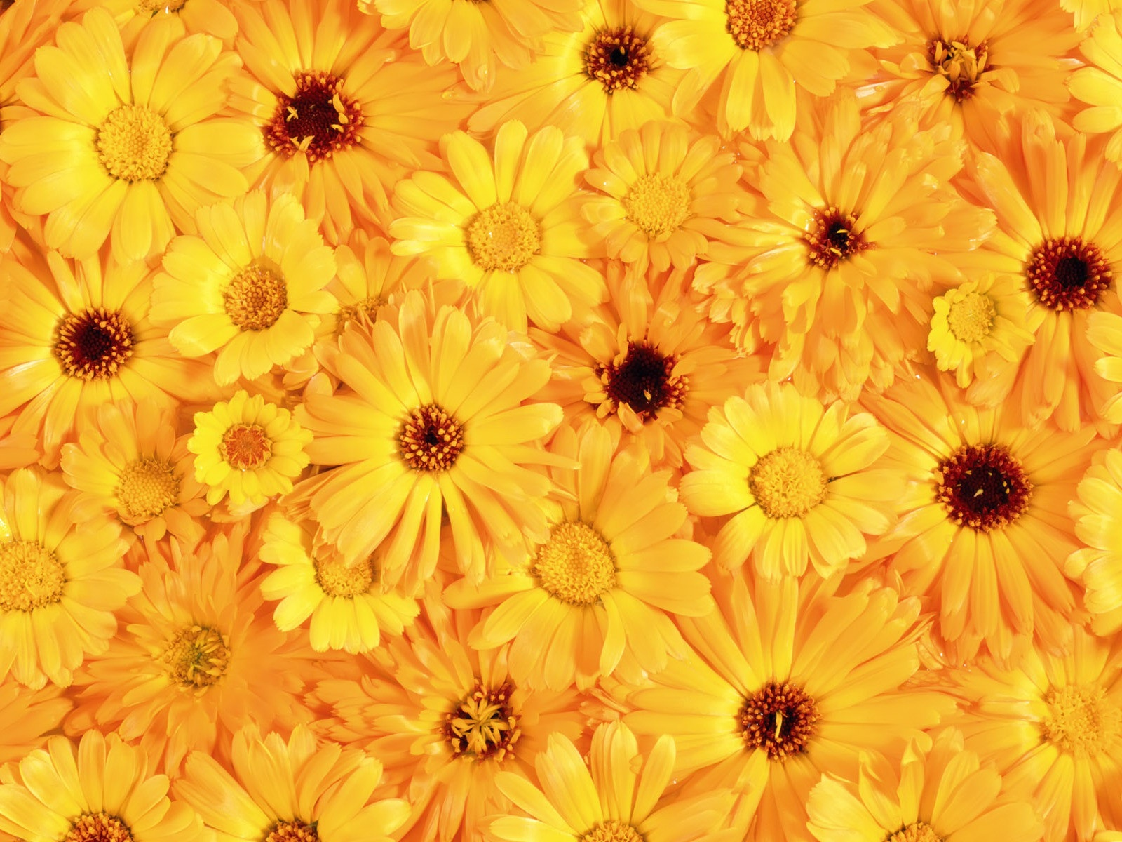 Free Download The Beautiful Yellow Flowers Wallpapers And Images