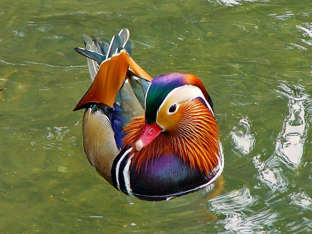 Duck hd wallpapers Animals Birds Most beautiful animals 1024x768