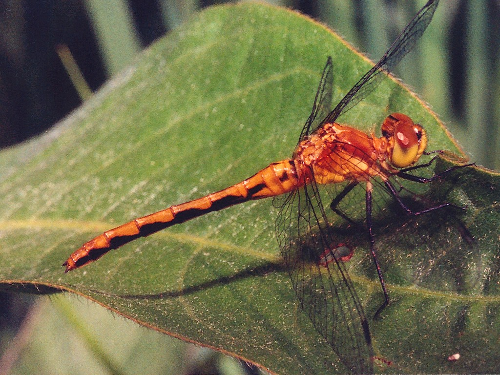 Dragonfly Wallpaper 1024x768