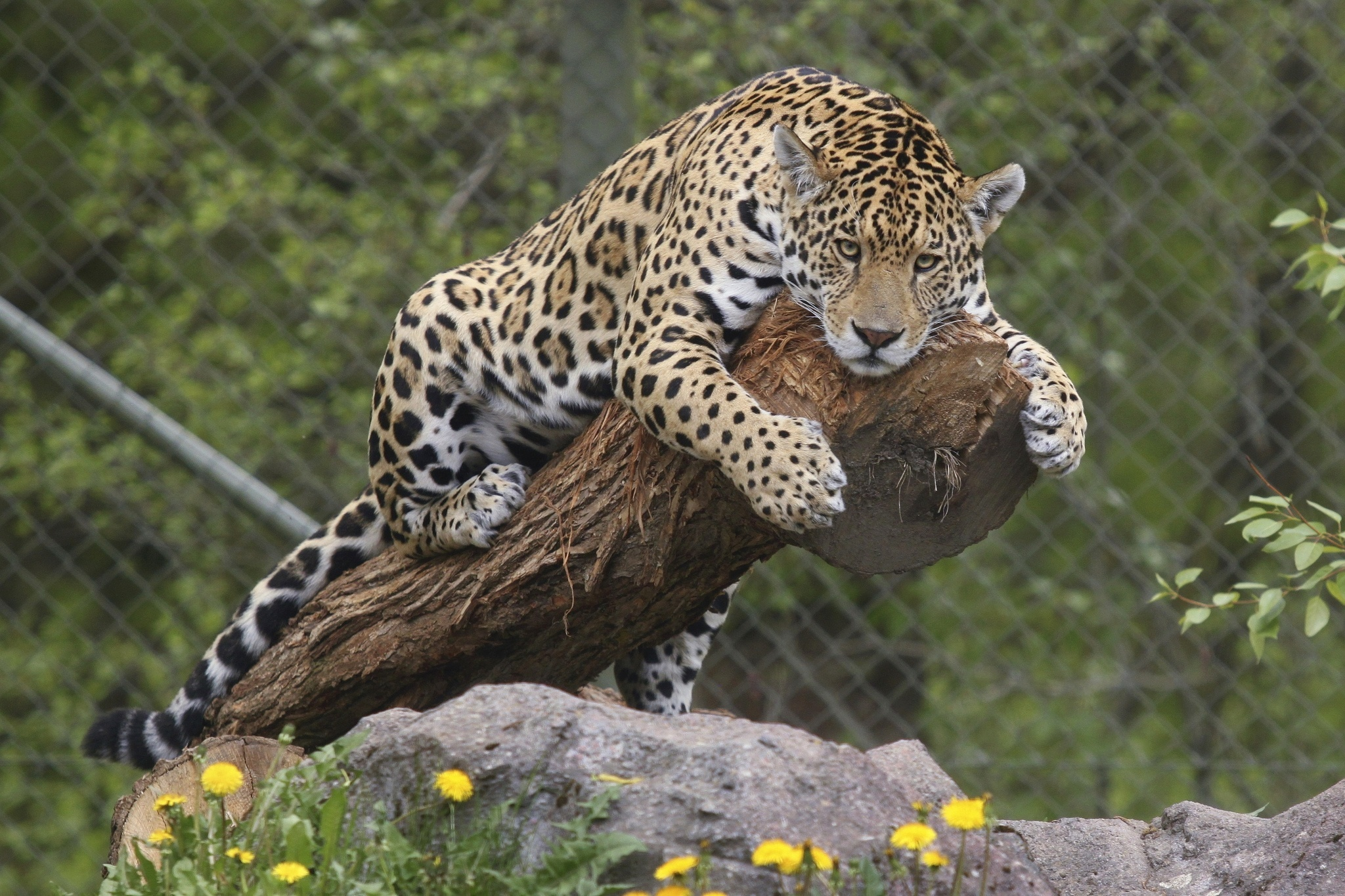 46 jaguar wallpaper animal on wallpapersafari - Jaguar animal hd wallpapers ...