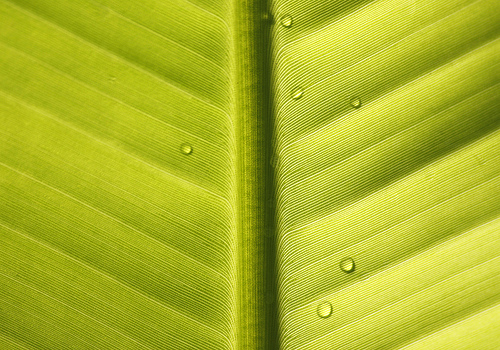 Banana leaf abstract texture and pattern with water droplets Flickr 500x350