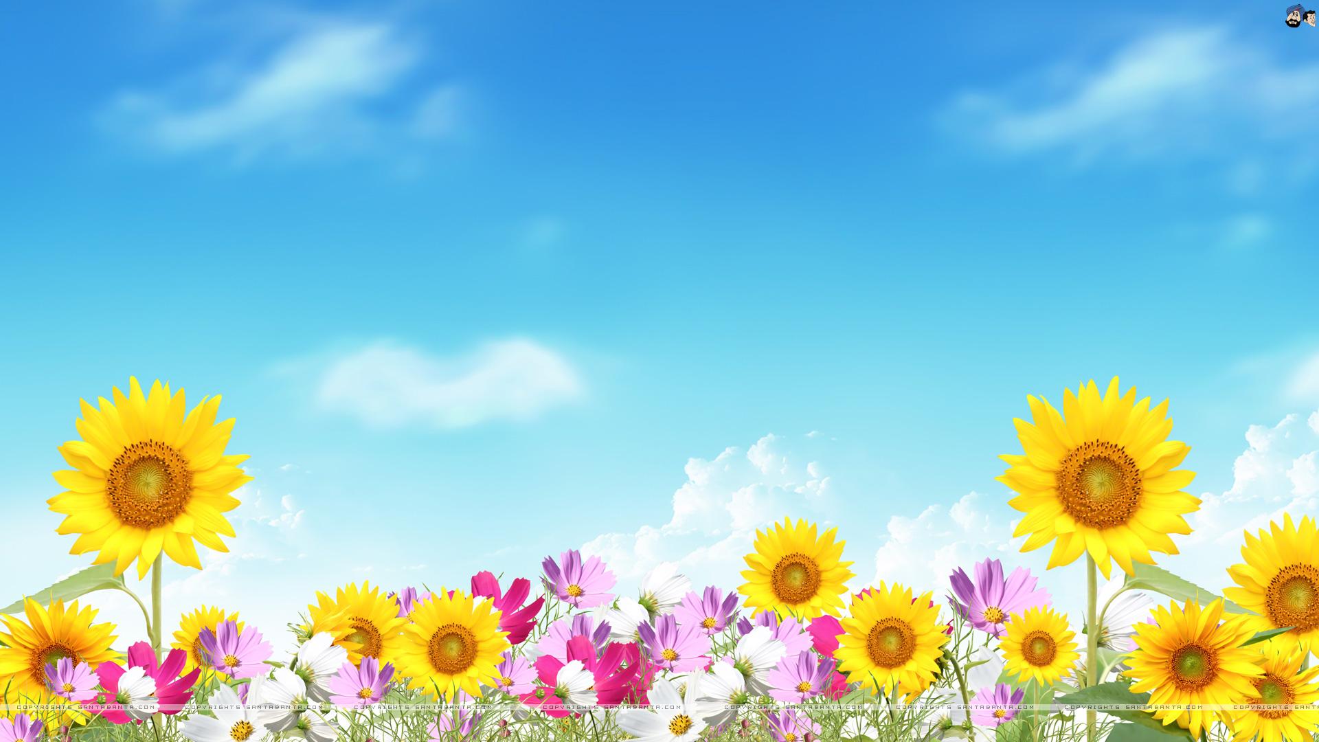 Sunflower Daisy Cosmos Digital Art 1920x1080 1920x1080