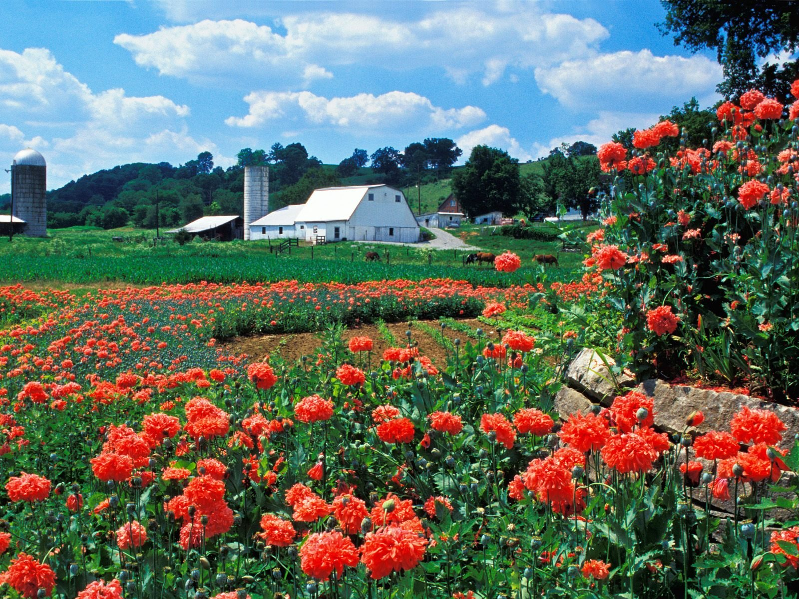 Flowers Wallpapers   Download Farm and Poppies Bardstown Kentucky 1600x1200