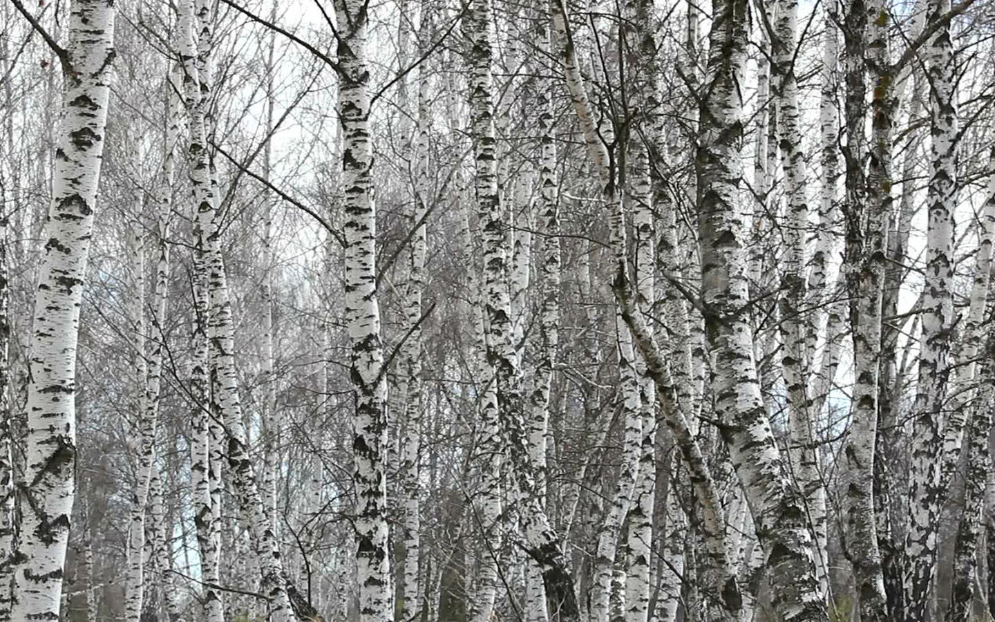 Birch wood wallpaper wallpapersafari