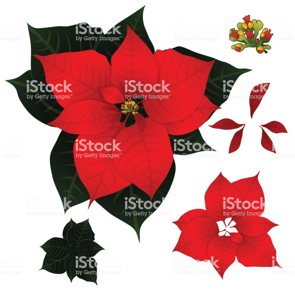 Red Poinsettia Isolated On White Background Vector Illustration 1024x1024