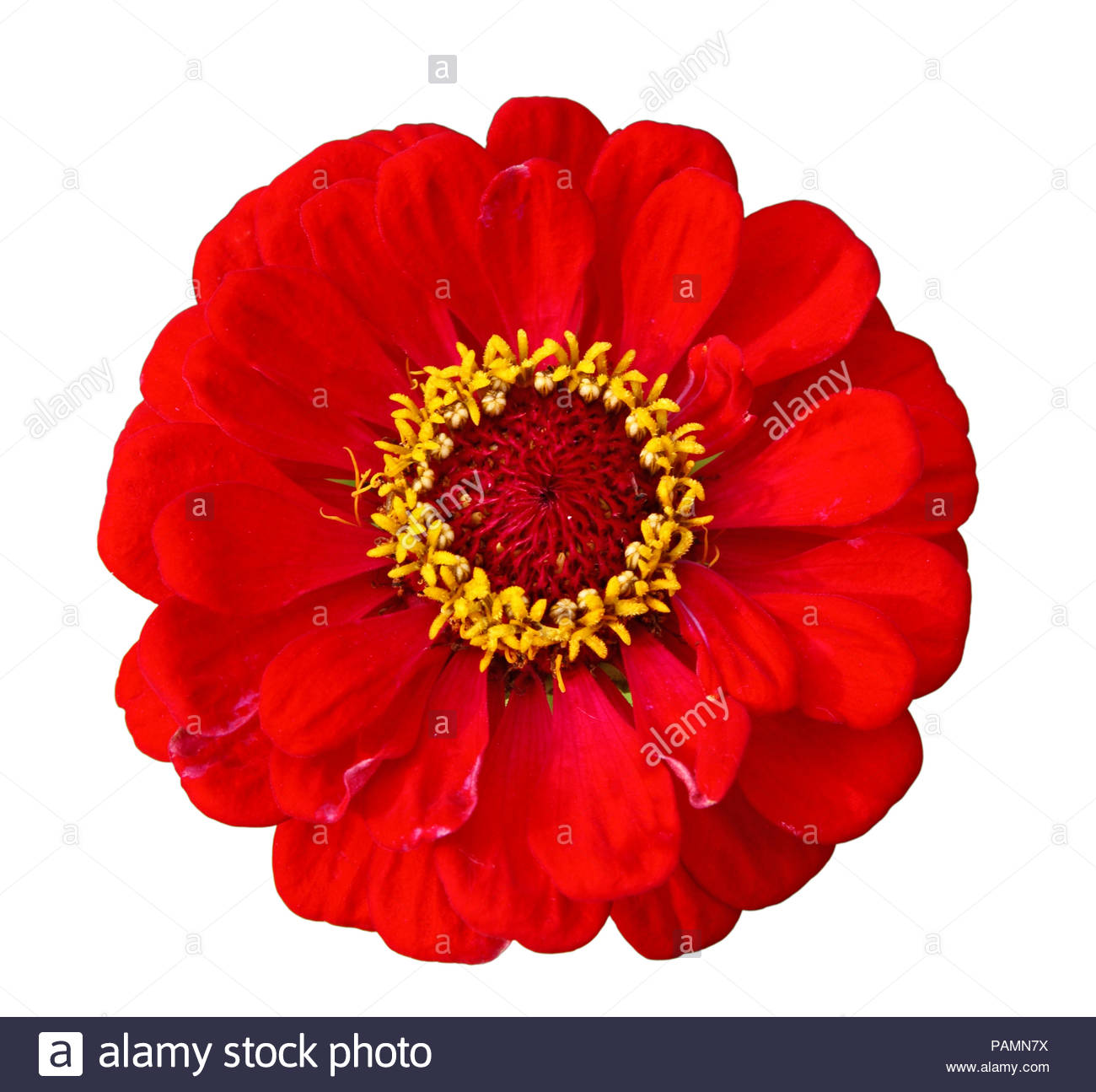 Colorful red zinnia flower isolated on white background closeup 1300x1295