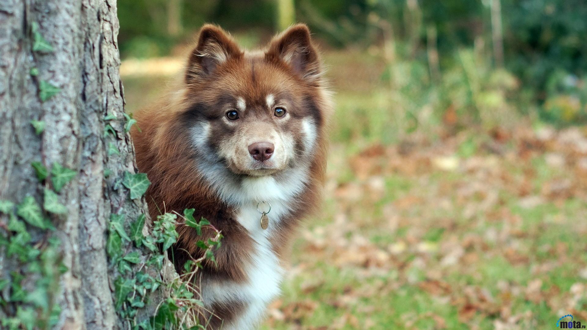 Download Wallpaper Australian Shepherd Puppy 1920 x 1080 HDTV 1080p 1920x1080
