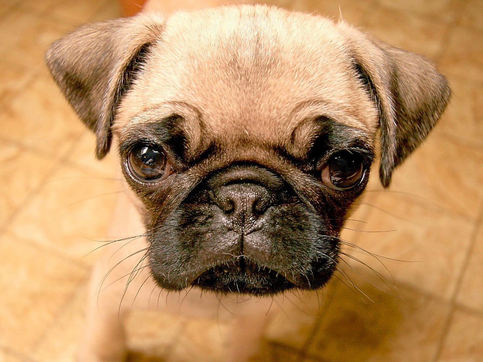 Beautiful Pug   Pugs Wallpaper 13728101 1600x1200
