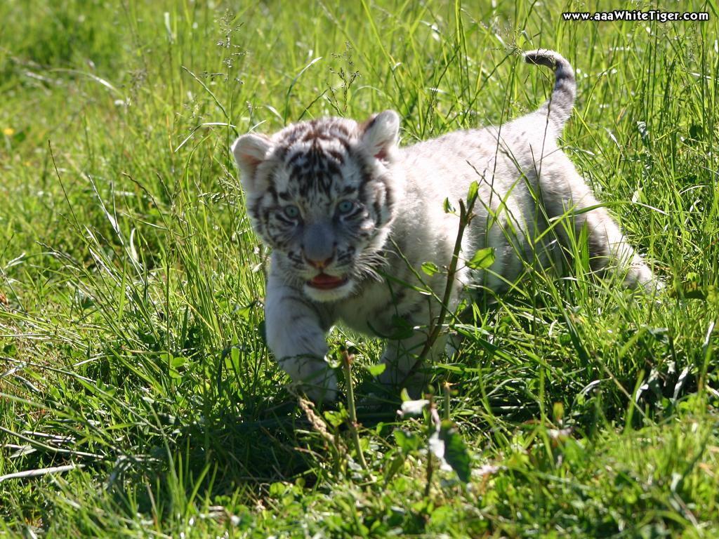 baby white tiger - HD1229×820