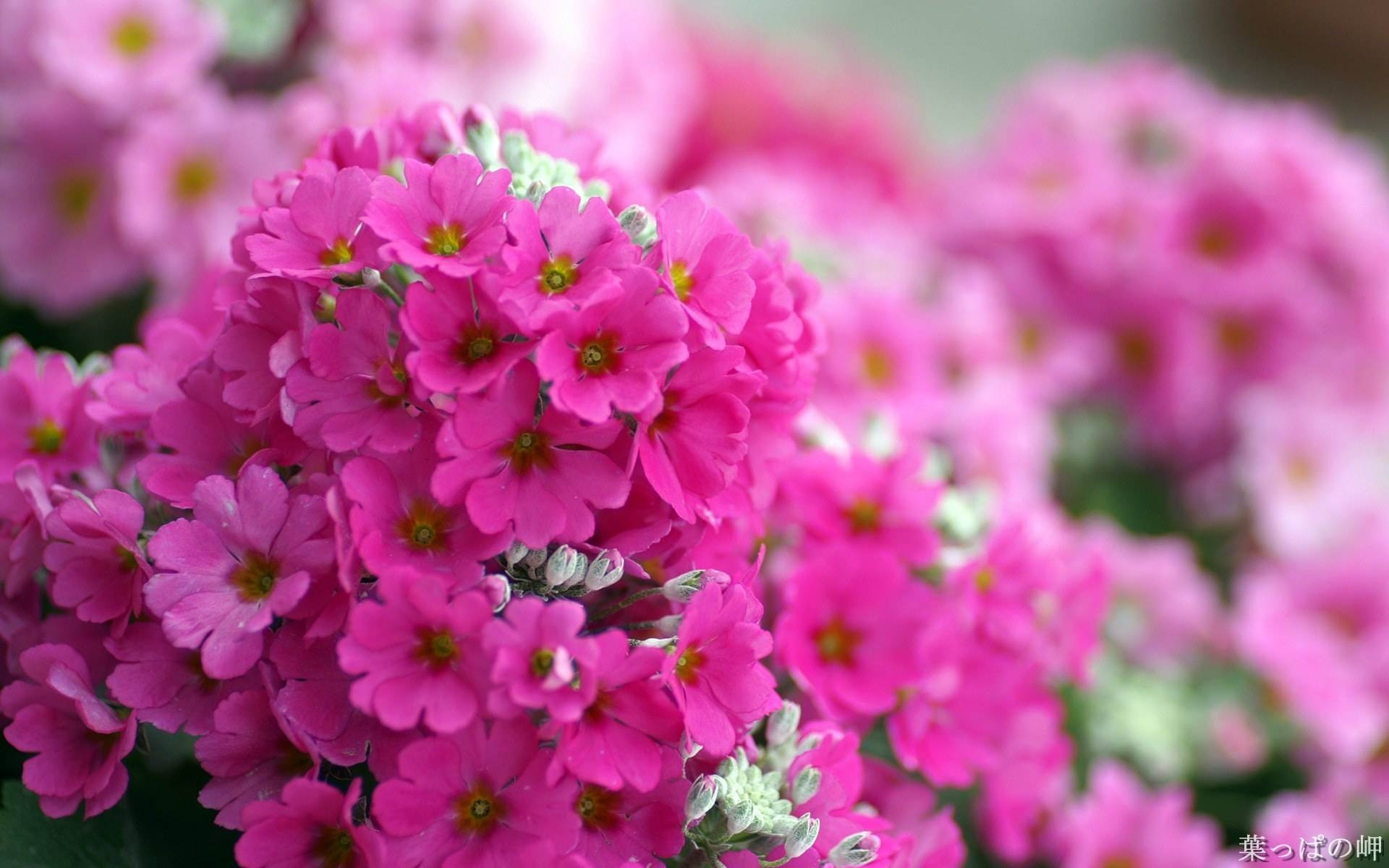 Pink Flowers Wallpaper Amazon Walls HD Wallpapers Backgrounds p 1920x1200
