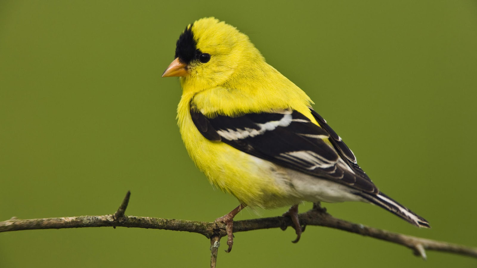wallpaper of a yellow bird sitting on a branch HD bird wallpaper 1600x900