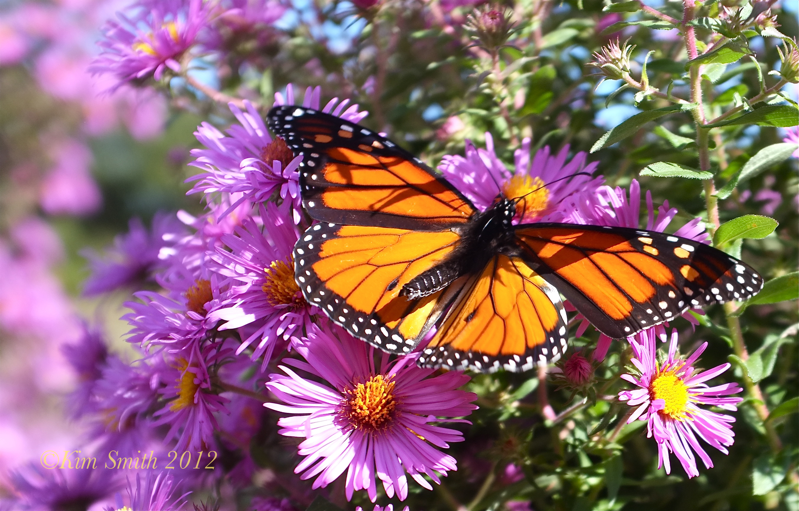Monarch Butterfly Wallpaper HD Images 0anmpwf3 Yoanu 2704x1729