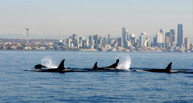 80 year old Puget Sound orca missing and presumed dead OregonLive 665x358