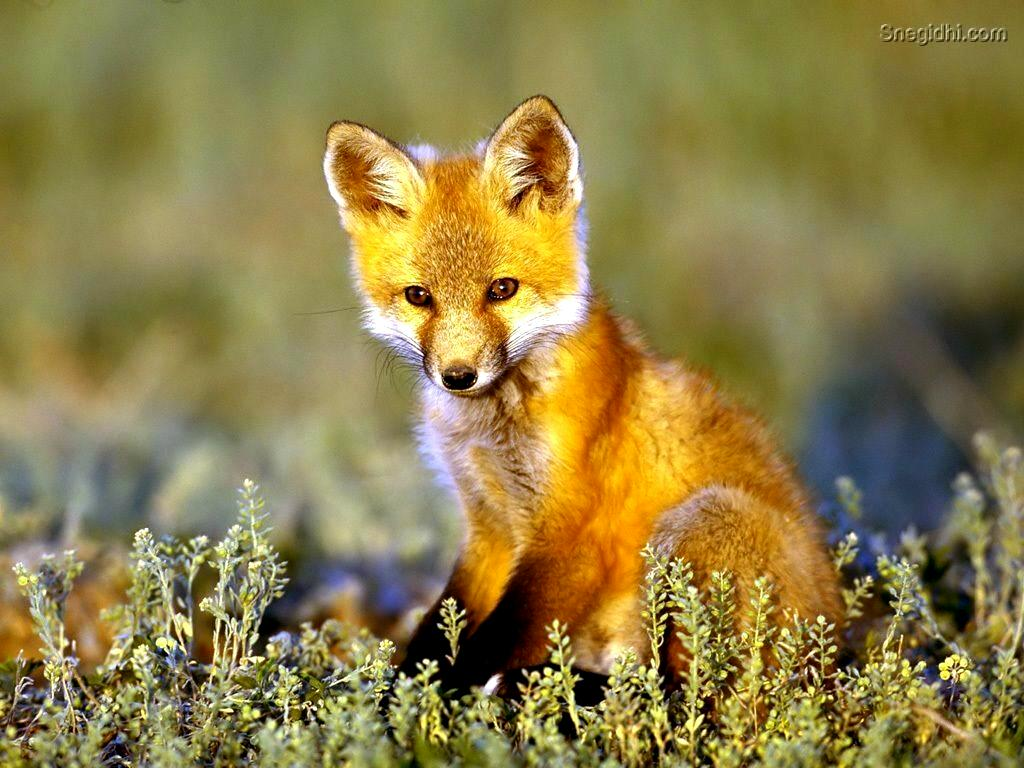 animals baby fox amazing collection of full screen wallpapers 1024x768