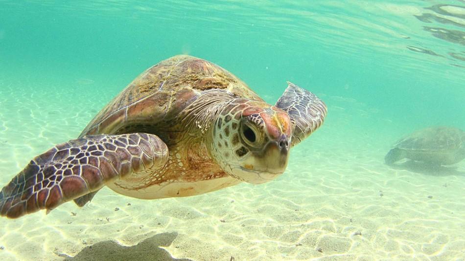 [46+] Sea Turtles Desktop Wallpaper on WallpaperSafari