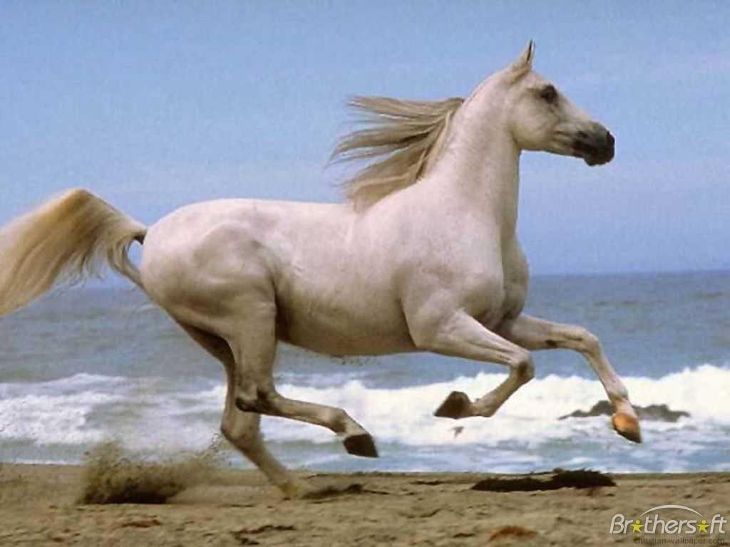Running on Beach Time Machine August 9 White Horse Running on Beach 1024x768
