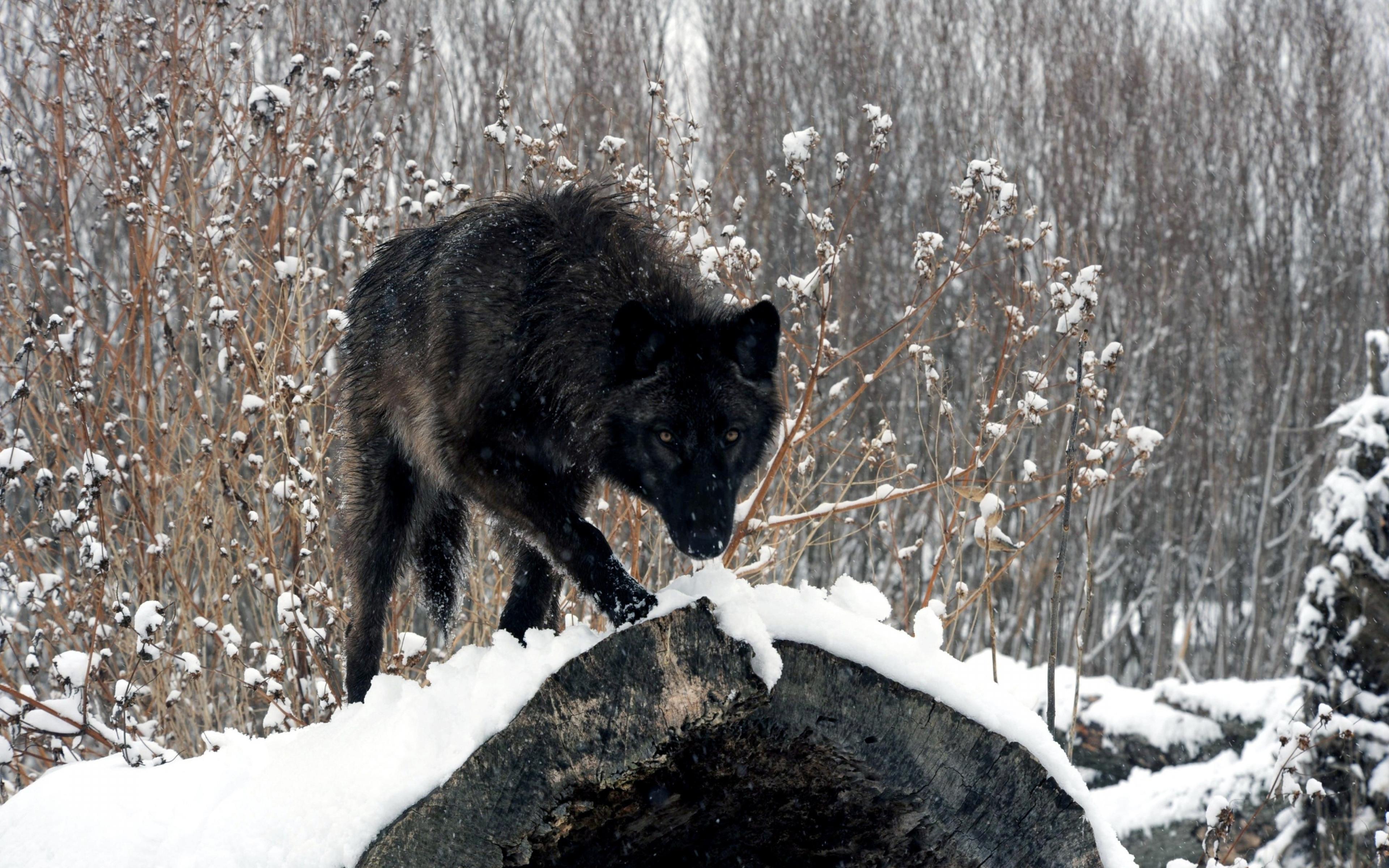 Winter Look Wolf Snow Logs Wood Wallpaper Background Ultra HD 4K 3840x2400