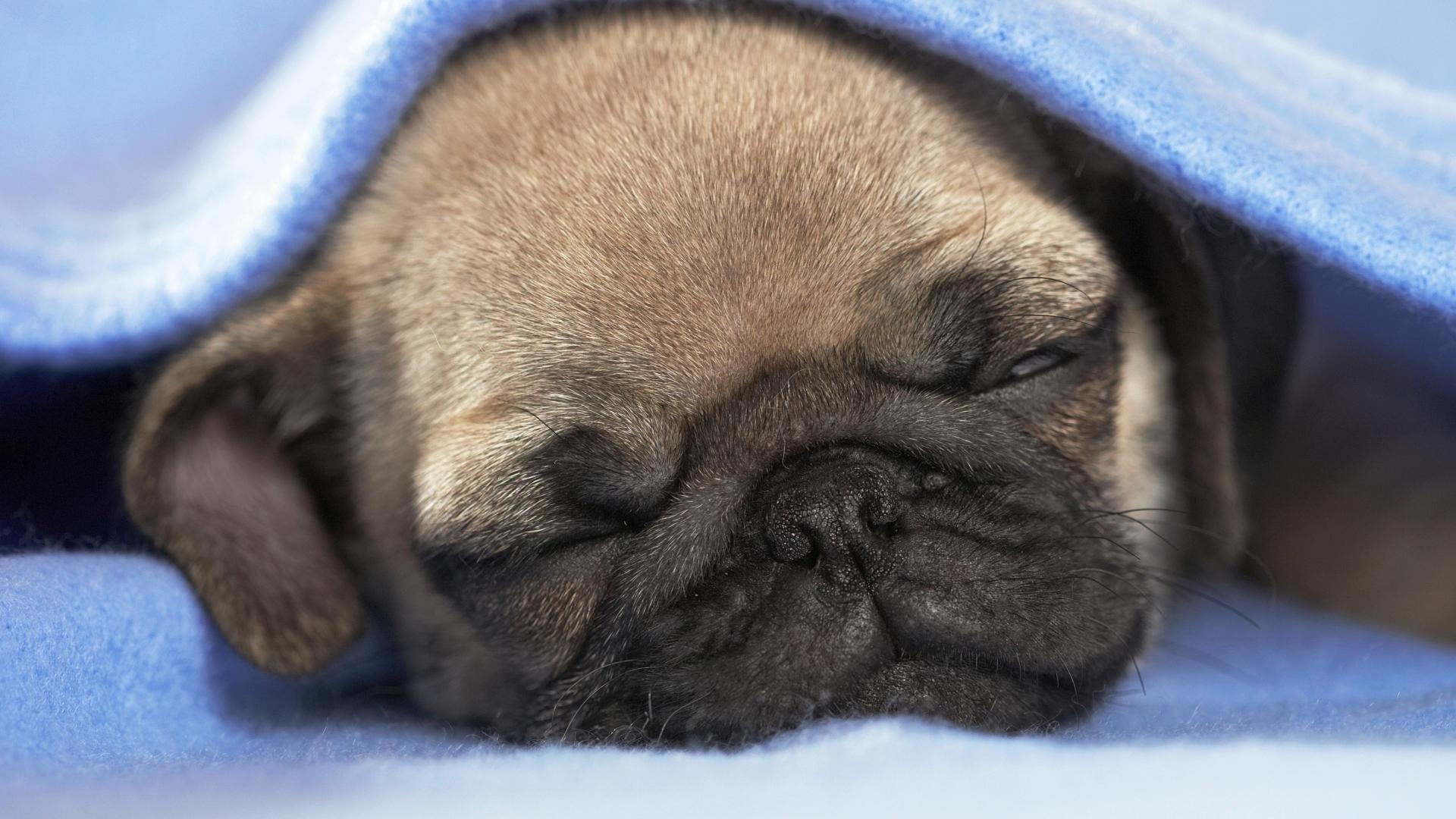 Pug Desktop Wallpaper   The Dog Wallpaper   Best The Dog Wallpaper 1920x1080