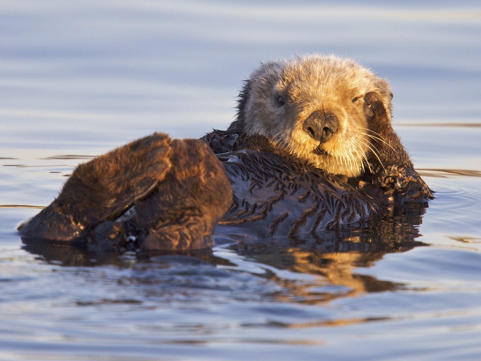 View California Sea Otter Monterey Bay Marine Sanctuary California 1600x1200