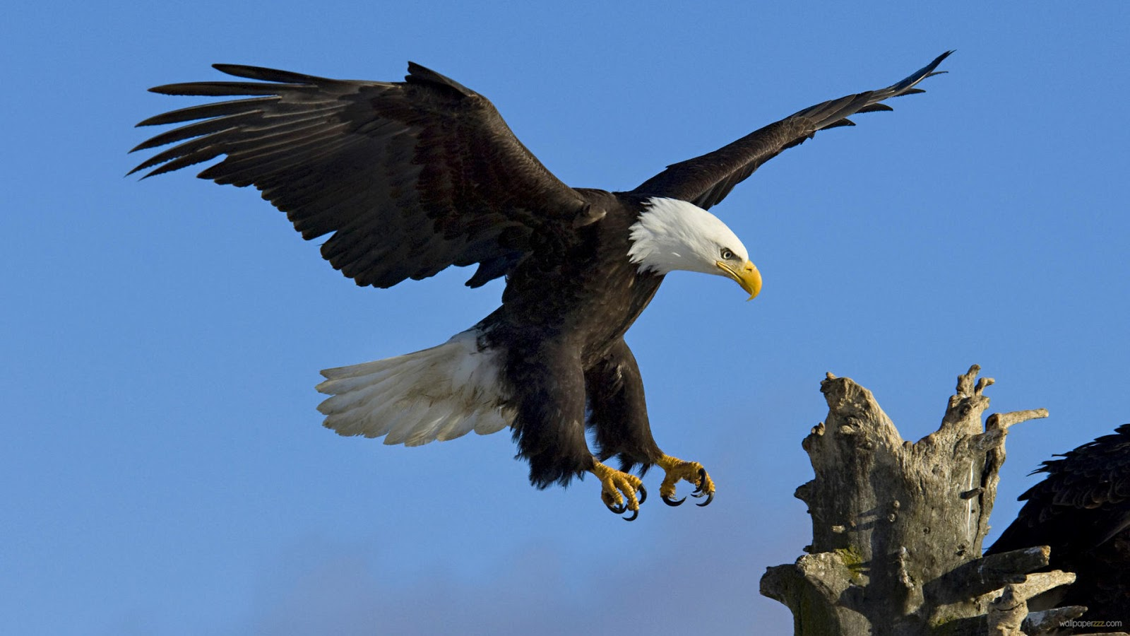 Eagle Eagle Hd Wallpapers Eagle Pictures Eagle 1600x900