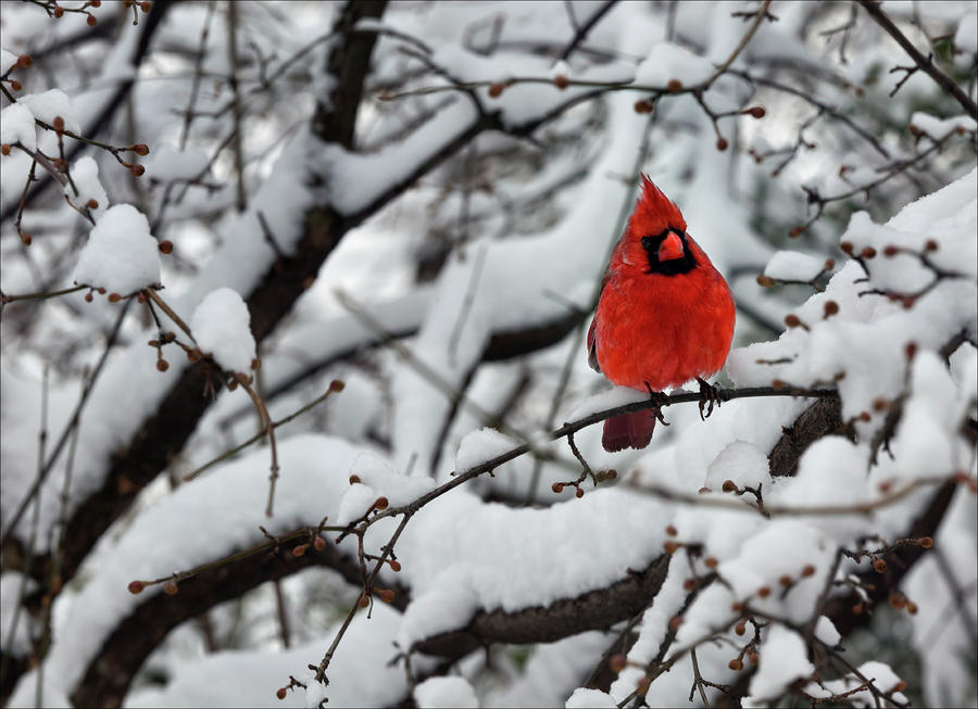 48 cardinals in the snow wallpaper on wallpapersafari - Winter cardinal background ...